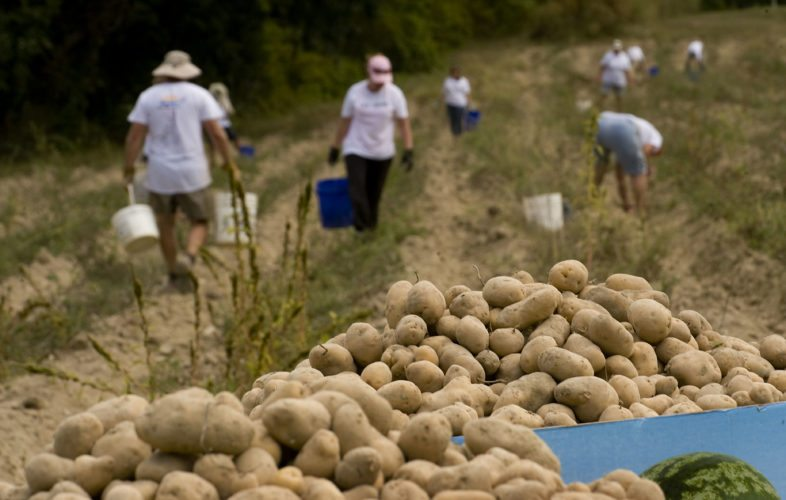 Bins of potatoes overflow at  the end of a row at the volunteer farm in Woodstock during the Northern Shenandoah Valley United Way Day of Caring last September. The farm's board of directors announced on Tuesday that the farm will be closing.  Rich Cooley/Daily